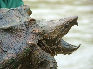 alligator_snapping_turtle_5687008503